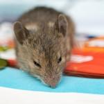 Nøste kom inn med en mus som vi reddet ut igjen