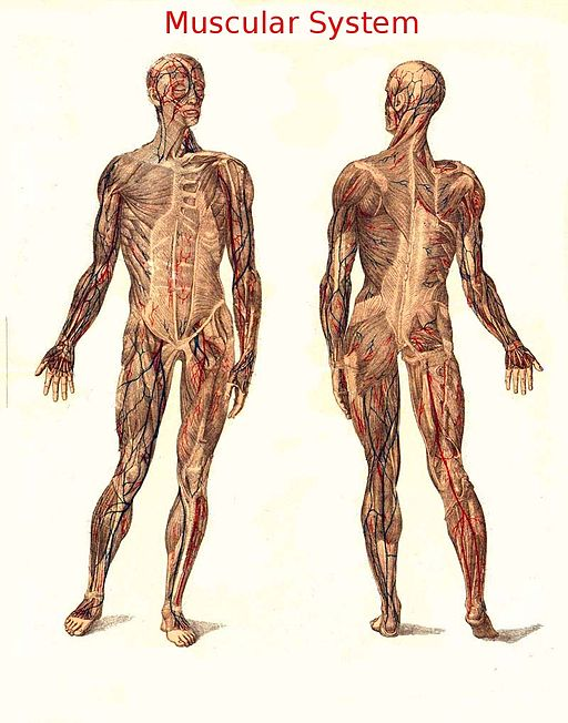 Medical image of a human's muscular system.