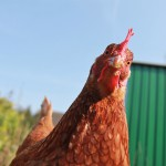 Photo of chicken with tilted head.