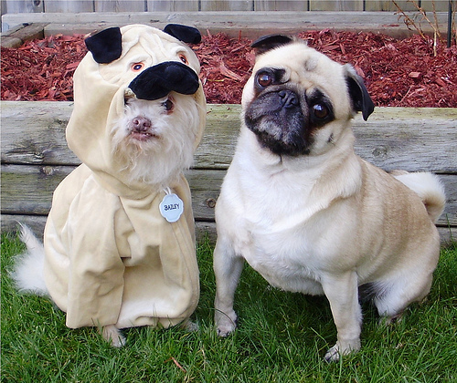 Photo of a pug and another dog in a pug costume